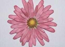 Create a Flower - Aster