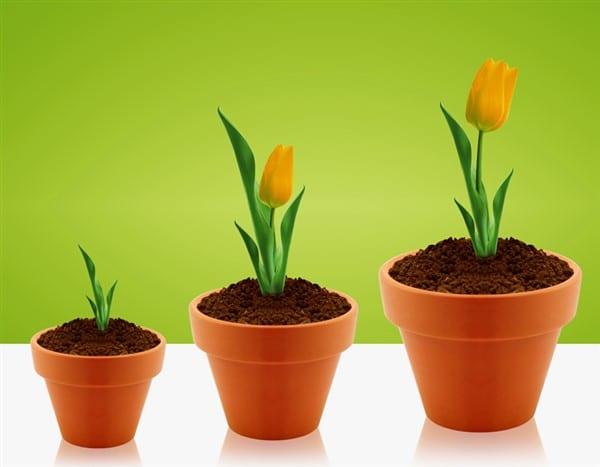 Für einen wunderschönen Garten: Tulpen vorziehen
