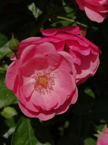 Mel rosatum - Rosenhonig selber machen