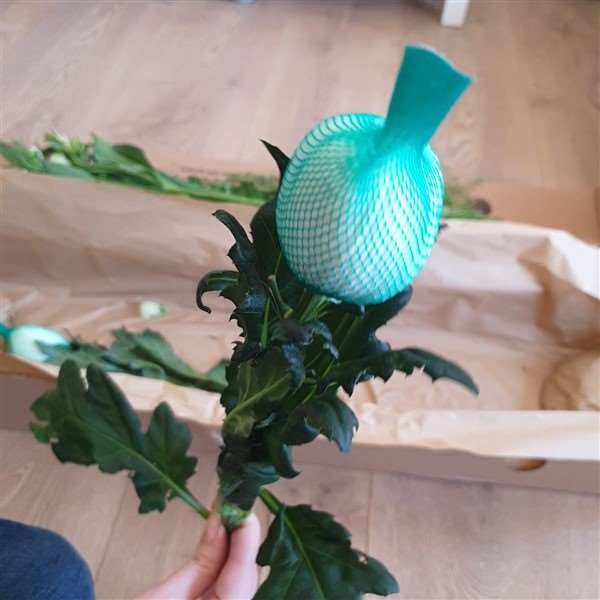 Freddies Flowers Chrysantheme mit Netz