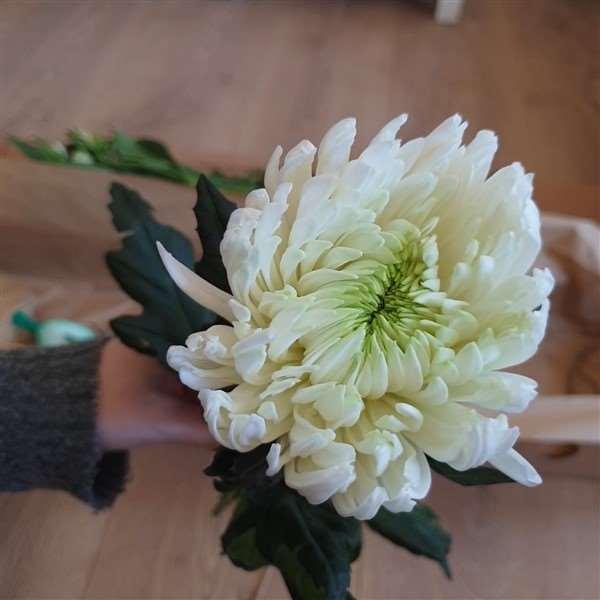 Freddies Flowers Chrysantheme